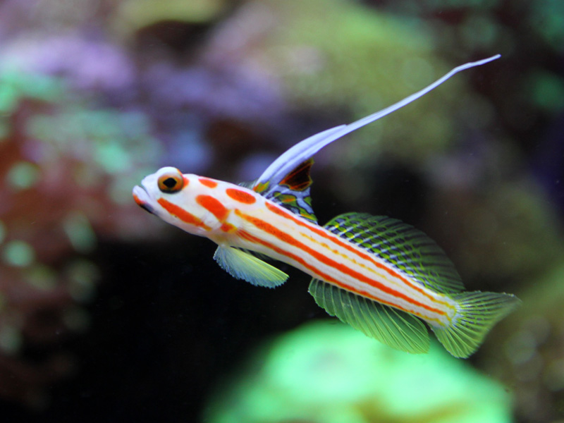 View topic - Yasha Goby for sale