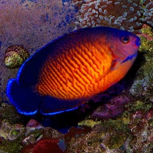 Coral beauty angelfish | Exotics Fish | loricula flame ...